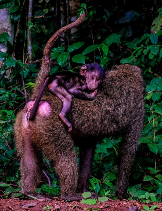 A baboon mother and her newborn, riding on her back