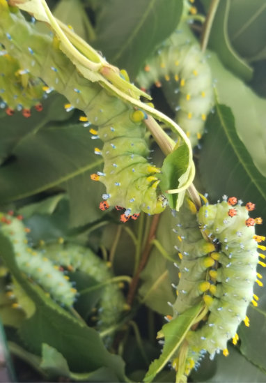Cecropia caterpillars