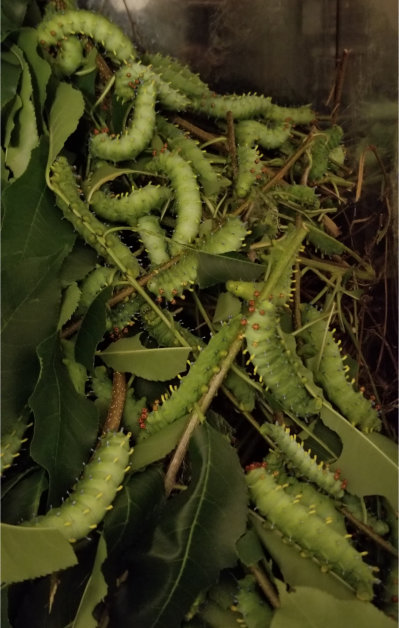 Swarming caterpillars in the absence of food